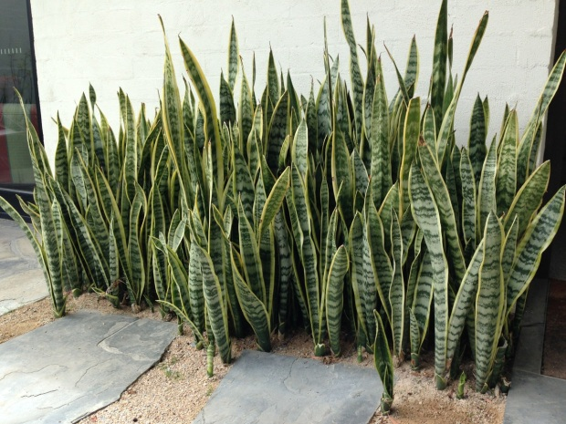 Sansevieria (Mother in law's tongue) look great on mass