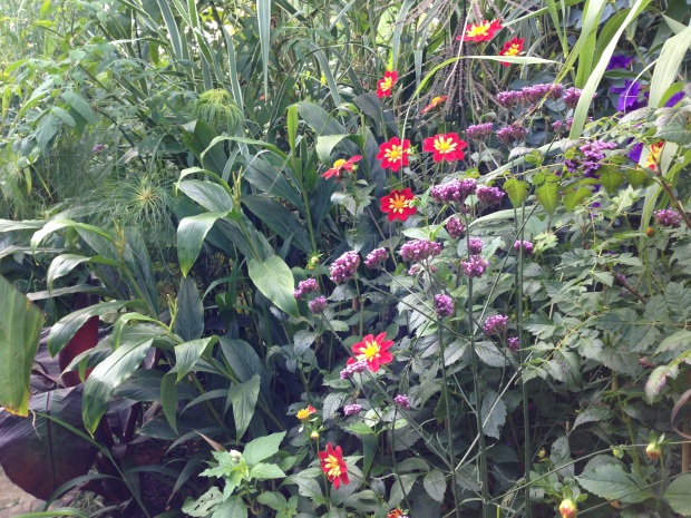 Dahlias and Verbena bonariensis at Great Dixter Exotic Garden