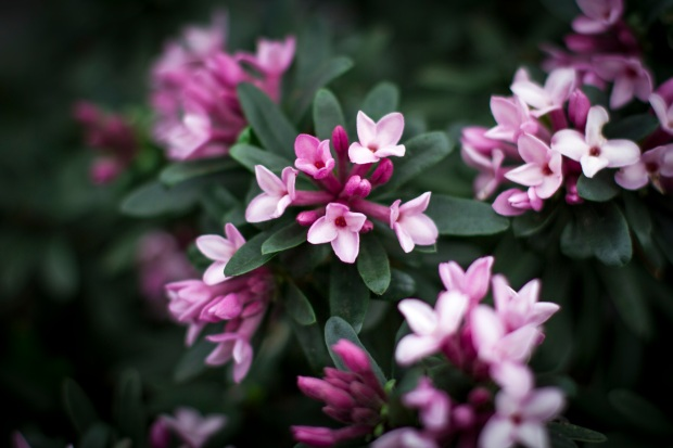 Daphne 'Spring Pink Eternal Fragrance'