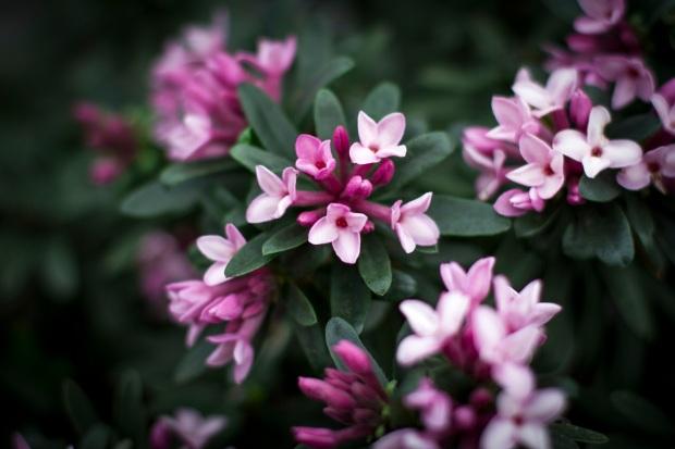 Daphne 'Spring Pink Eternal Fragrance'