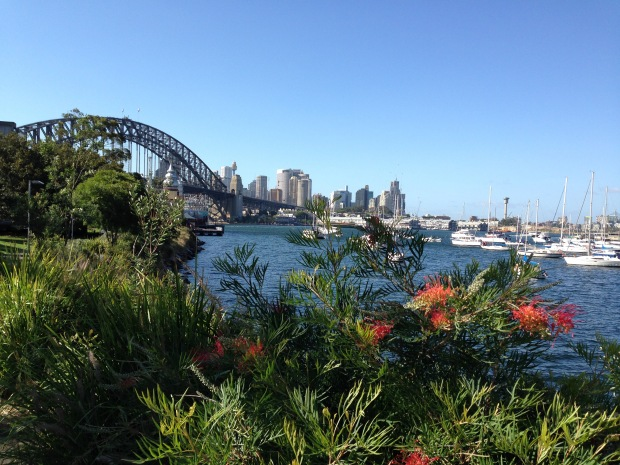 Grevillias on the shore at Lavender Bay, Sydney