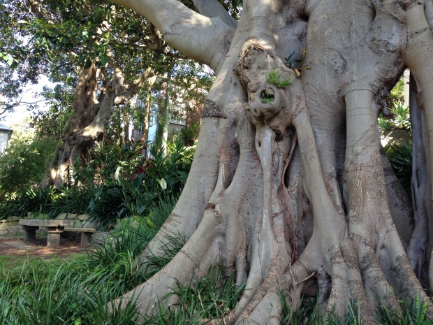 Large Moreton Bay fig at Wendy's Secret Garden