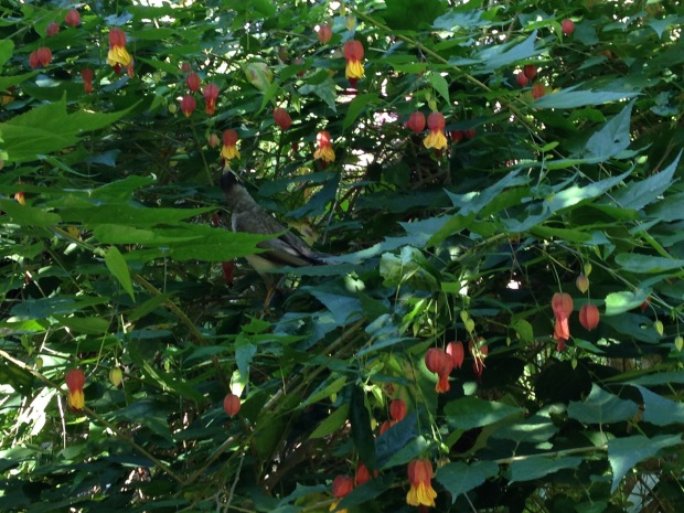 Native mynah bird feeding on Abutilon megapotanicum at Wendy's Secret Garden