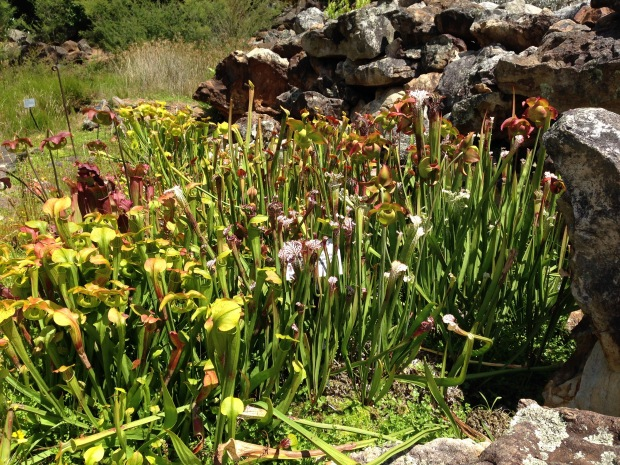 Pitcher plants at Mount Tomah Gardens