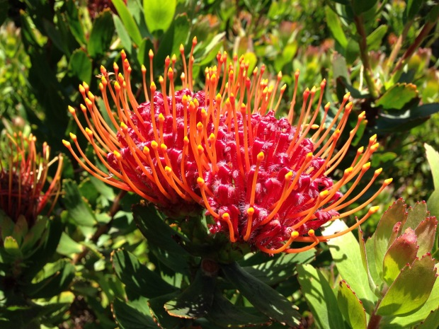 Red waratah (Telopea) at Mount Tomah Botanic Garden
