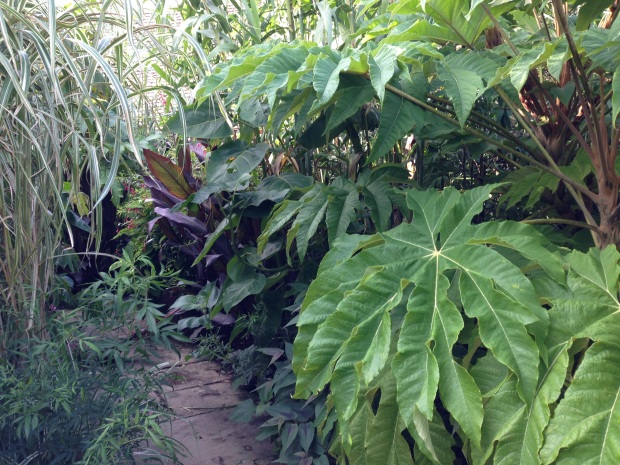 Tetrapanax in the Exotic Garden at Great Dixter