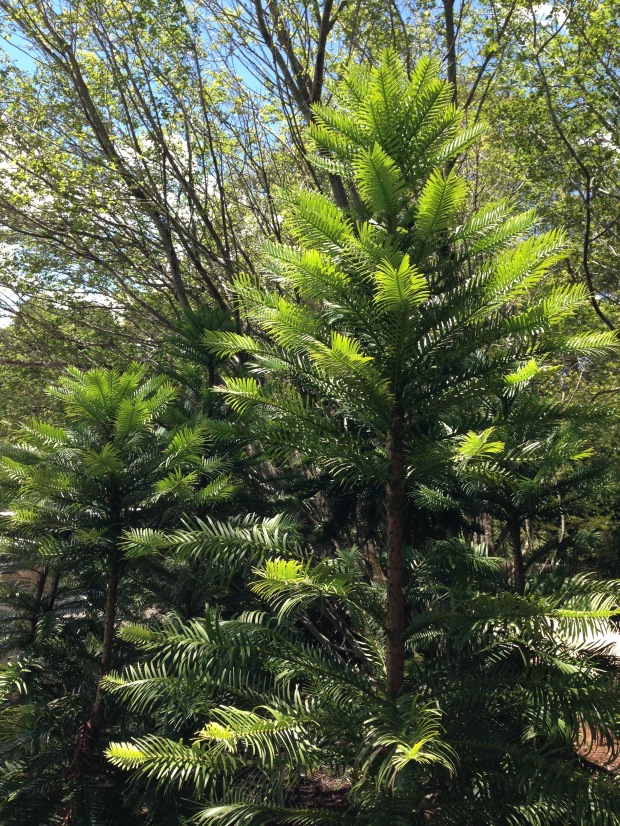 Wollemi pines at Mount Tomah Botanic Garden