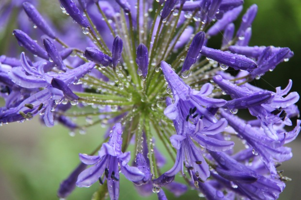 Agapanthus 'Guilfoyle' in the rain