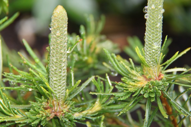 Banksia 'Birthday Candles' holding water droplets