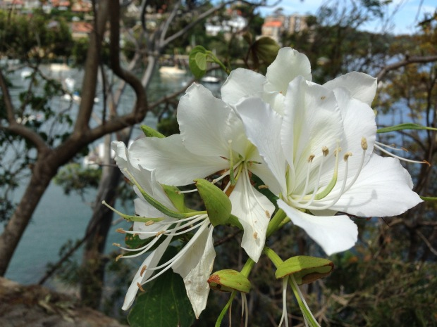 Bauhinia flower at Les and Ruby's garden, Cremorne Point Janna Schreier