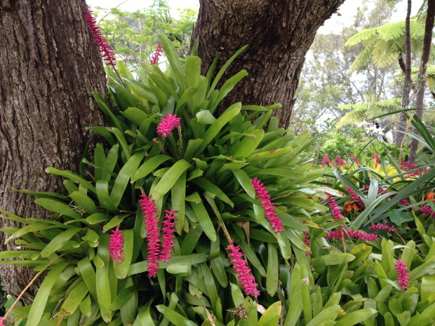 Bromeliads pouring out of a Jacaranda at Cremorne Point Janna Schreier