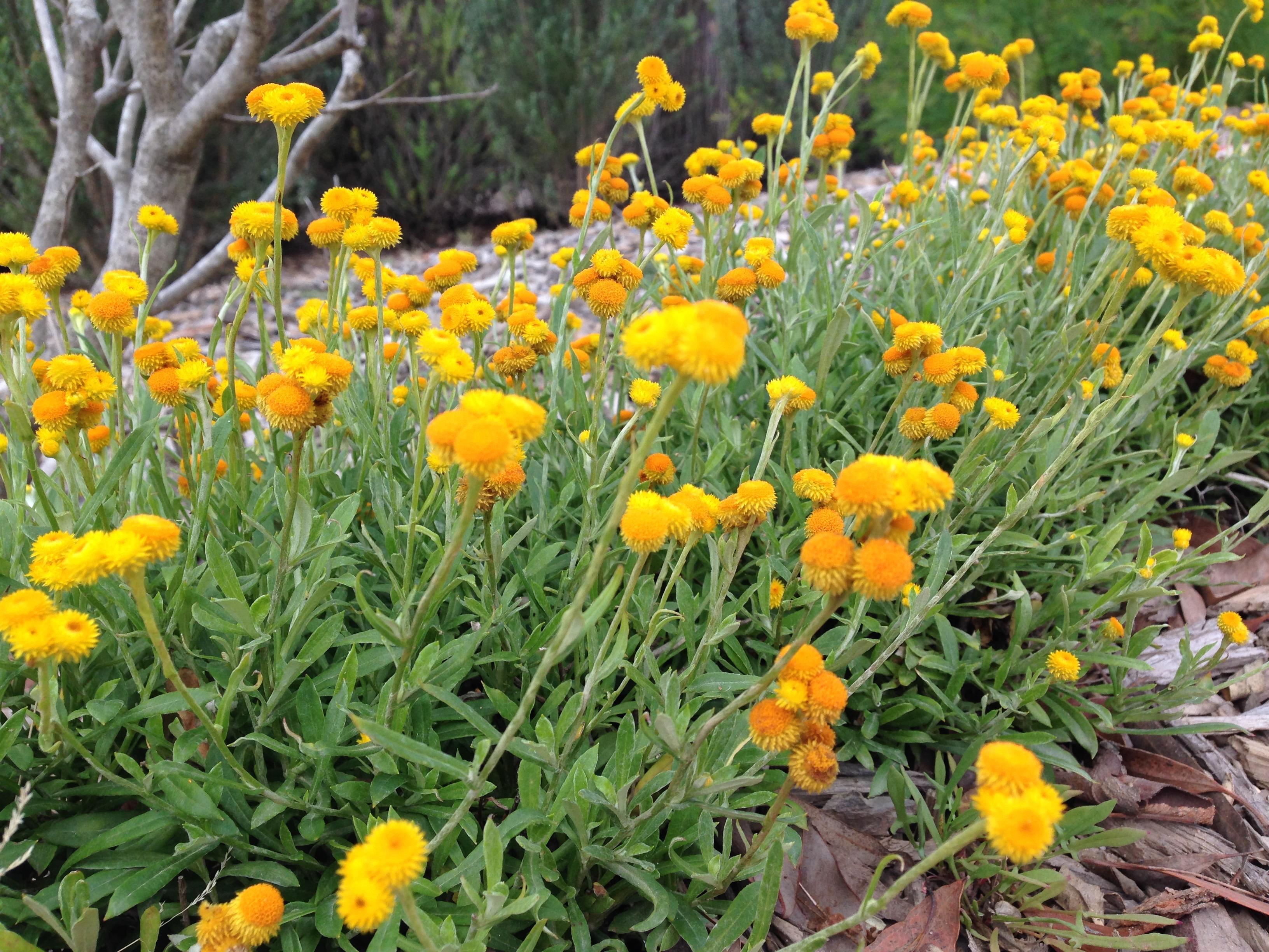 Design Your Own Home Nsw Natives 3 Tips For A High Impact Australian Garden