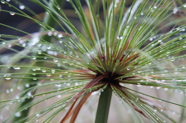 Cyperus papyrus in the rain