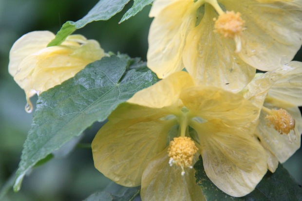 Droplet of water held on Abutilon flower
