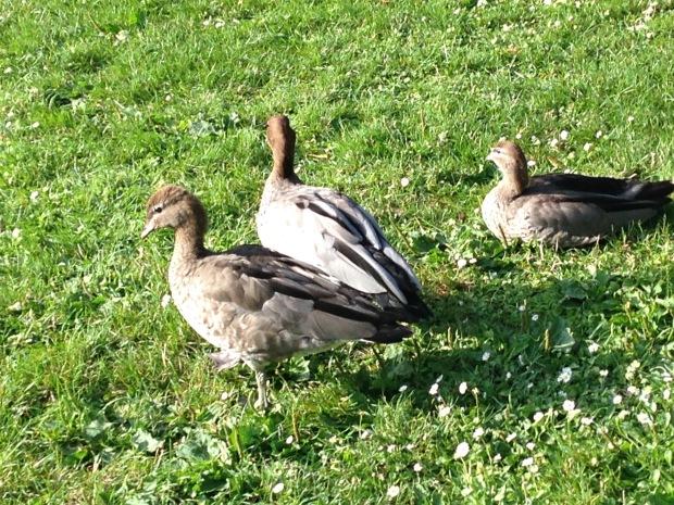 Ducks at the Melbourne Botanic Garden. Janna Schreier