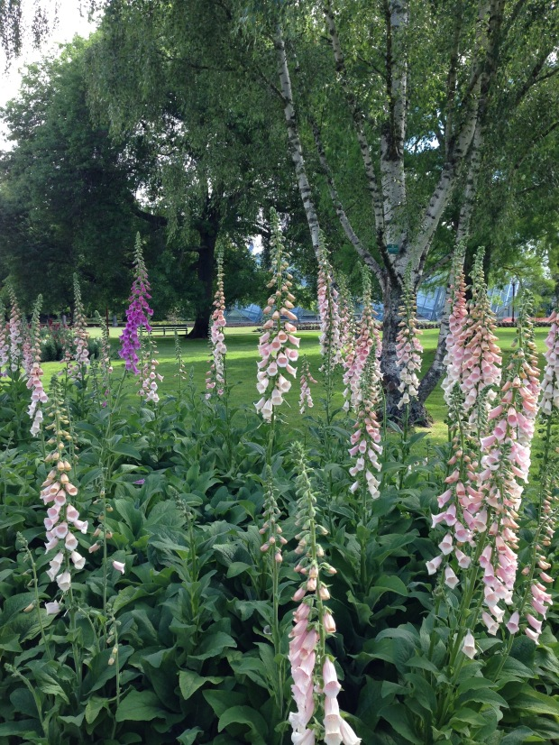 Foxgloves and silver birch at Ballarat Botanic Gardens. Janna Schreier