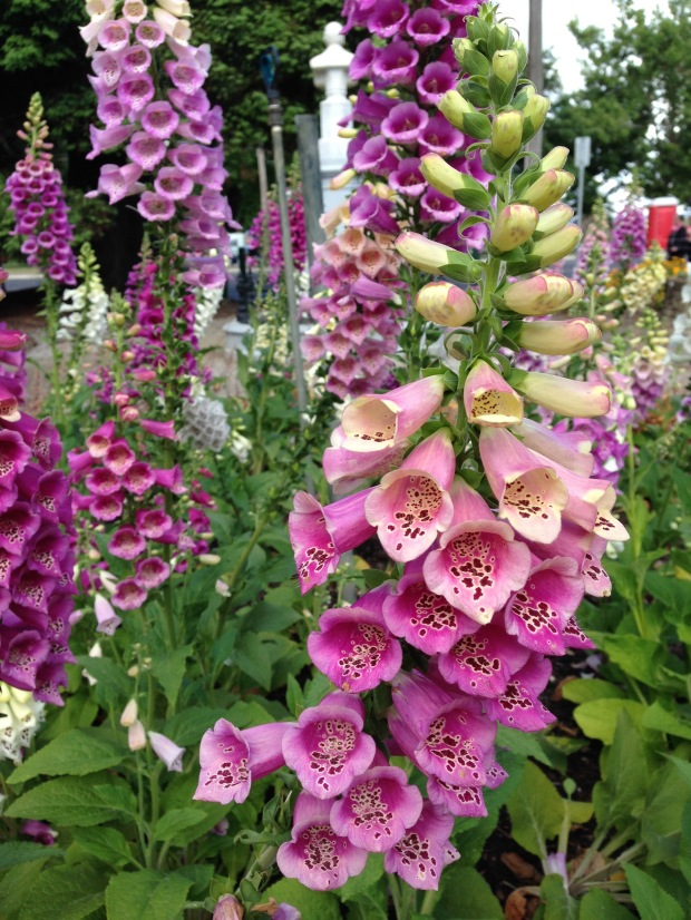 Foxgloves (Digitalis) at Ballarat Botanic Gardens. Janna Schreier