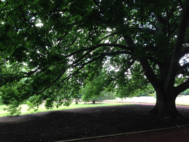 Huge oak at Ballarat Botanic Gardens. Janna Schreier