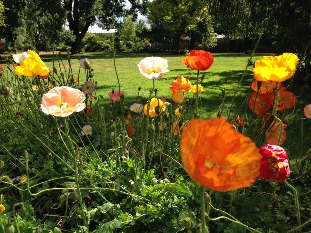 Iceland poppies (Papaver nudicaule) at Ballarat Botanic Gardens. Janna Schreier