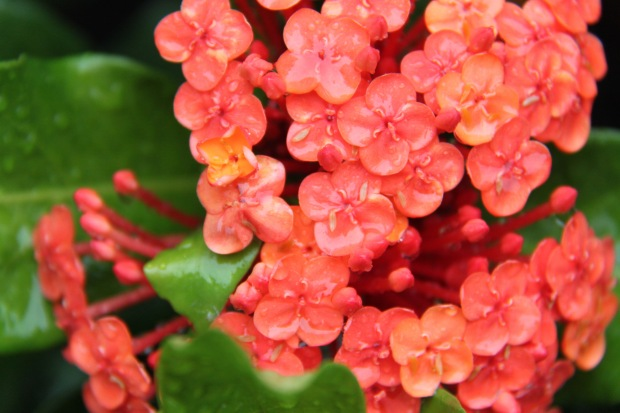 Ixora petals full of water