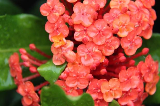 Ixora petals full of water