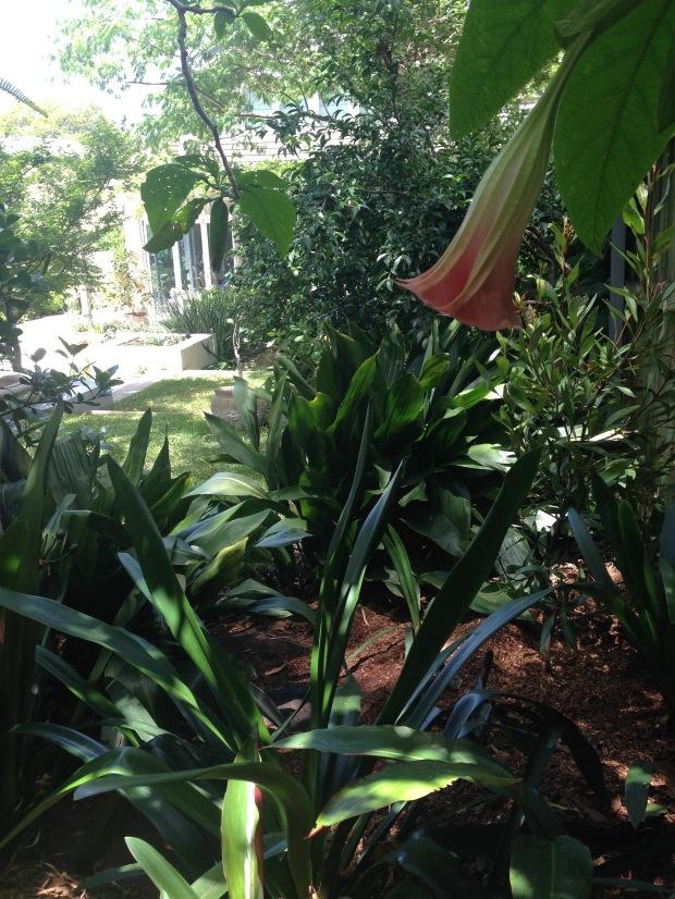 Janna Schreier's home garden - from under the Brugmansia tree