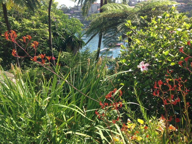Kangaroo Paws and Hibiscus at Cremorne Point Janna Schreier