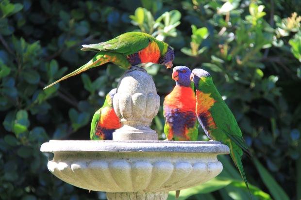 Lorikeets in Janna Schreier's garden