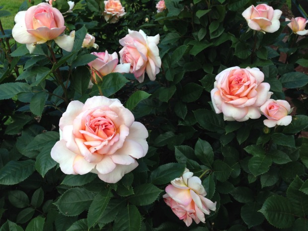 Perfect roses at Ballarat Botanic Gardens. Janna Schreier