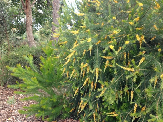 Persoonia pinifolia (Pine-leaved geebung) is stunning in flower. Janna Schreier