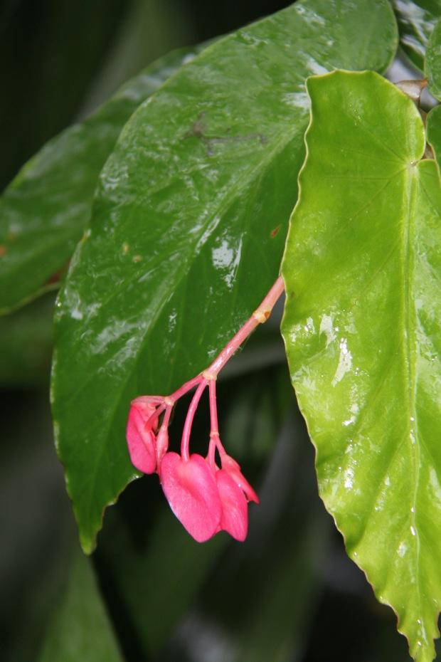 Shiny, wet, cane Begonia