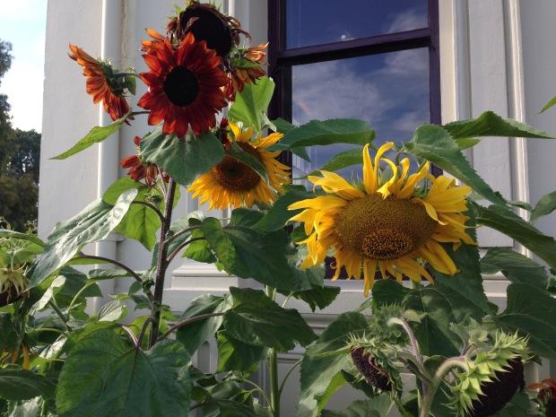 Sunflowers at the entrance to the Melbourne Botanic Garden. Janna Schreier