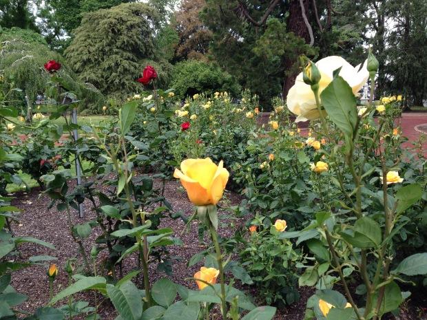 Warm roses at Ballarat Botanic Gardens. Janna Schreier