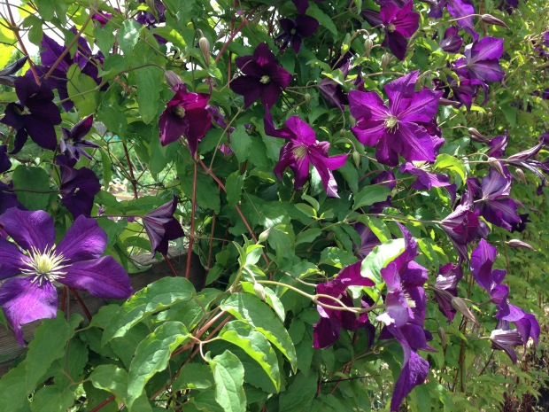 Clematis at Lambley Nursery. Janna Schreier