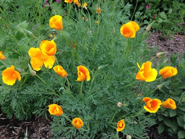 Eschscholzia californica at Lambley Nursery. Janna Schreier