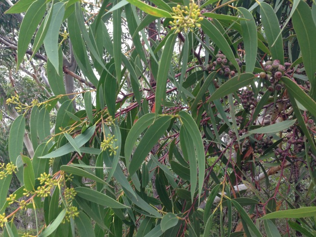 Eucalytus gum nuts and buds. Janna Schreier