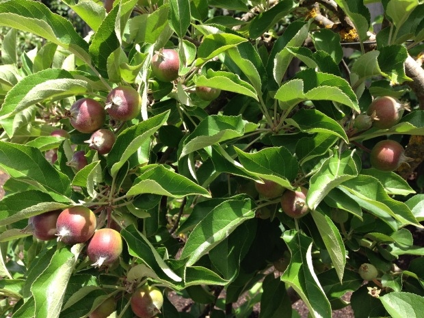 Fresh apple growth developing. Janna Schreier