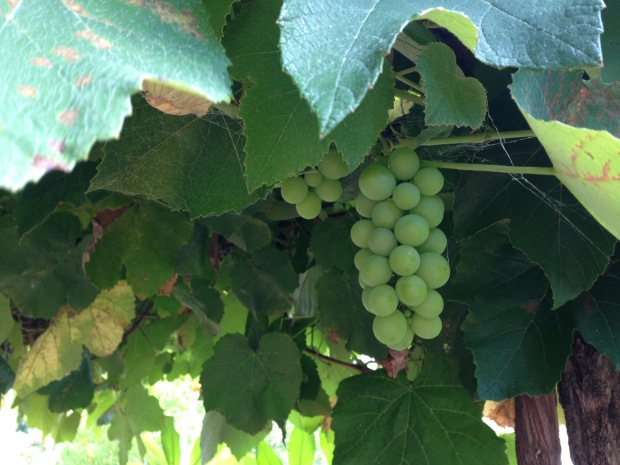 Grapes at Wyoming. Janna Schreier