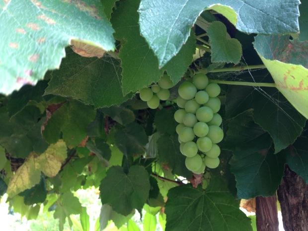 Grapes at Wyoming. Janna Schreier