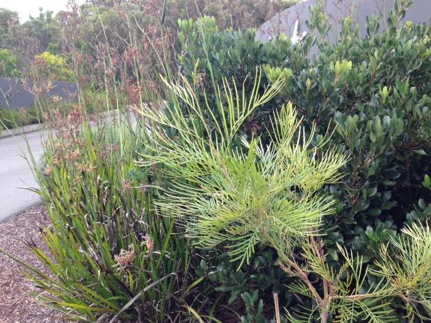 Lime coloured Grevillia, Red Anigozanthos and Rhapiolepsis colour and texture contrasts. Janna Schreier