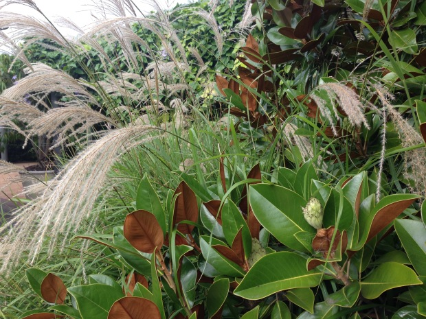 Magnolia and Miscanthus at Bells. Janna Schreier