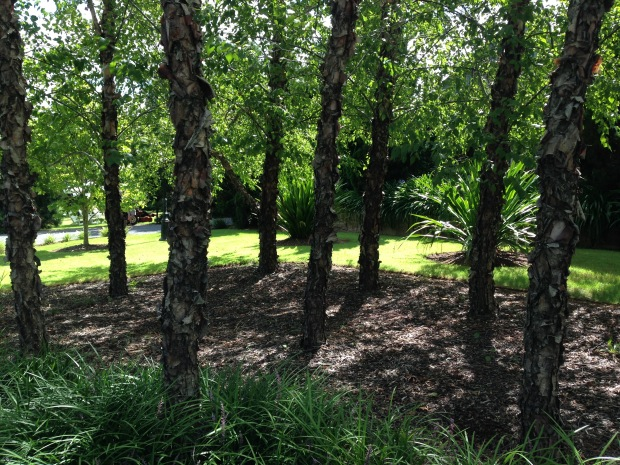 Native Gymea lilies sit comfortably behind this small birch grove. Janna Schreier