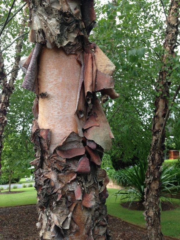 Peeling birch bark. Janna Schreier