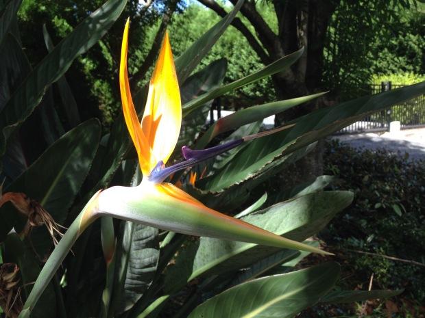 Perfect Strelitzia flower. Janna Schreier