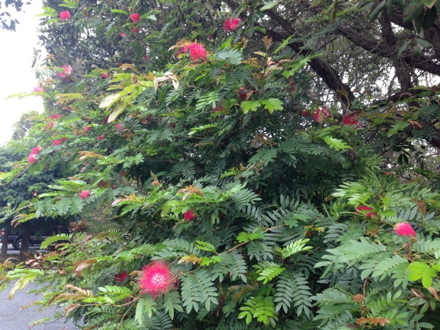 Red Calliandra at Bells. Janna Schreier