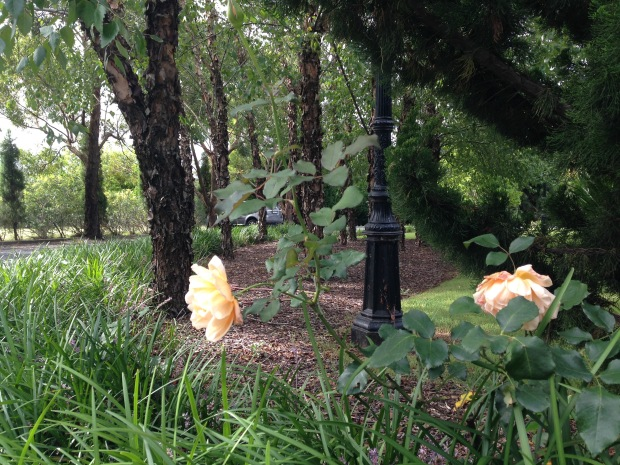 Roses in the gardens at Bells. Janna Schreier