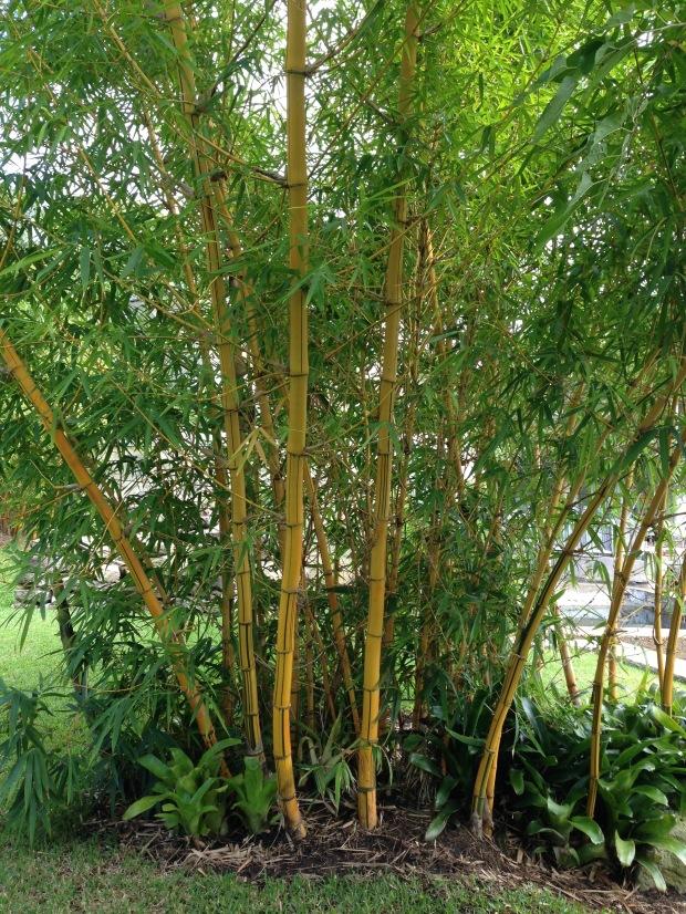 Stunning Bambusa vulgaris 'Vittata' at Wyoming. Janna Schreier