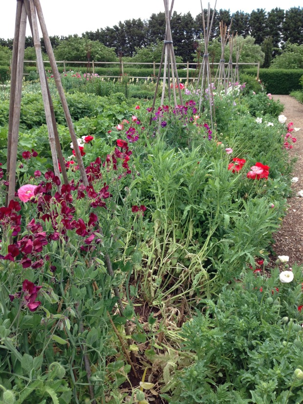 Sweet peas (Lathyrus) at Lambley Nursery. Janna Schreier