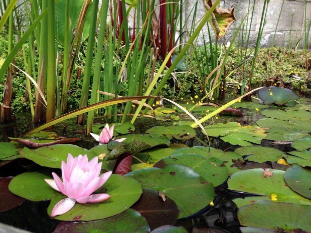 Water lily at Wyoming. Janna Schreier