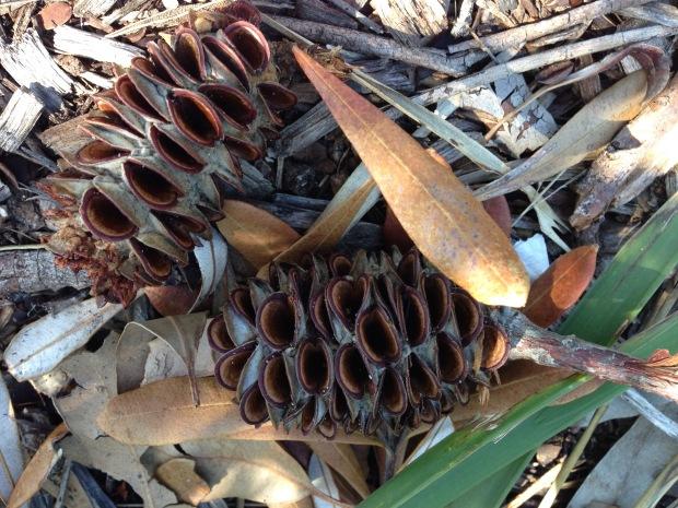 Banksia cones at Balmoral. Janna Schreier